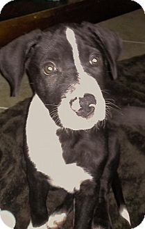Labrador Retriever/Great Dane Mix Puppy for adoption in Lighthouse Point, Florida - Lucky