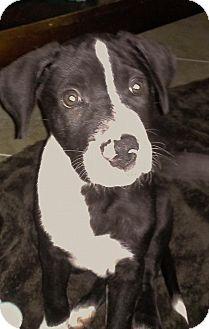 Labrador Retriever/Great Dane Mix Puppy for adoption in Davie, Florida - Lucky