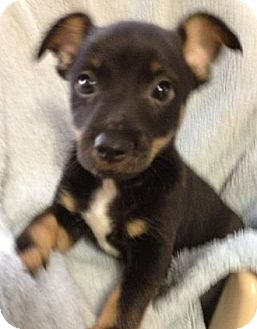 Chihuahua/Rat Terrier Mix Puppy for adoption in Gainesville, Florida - Sherlock