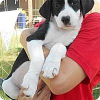 Adopt A Pet :: VALENTINE - Phoenix, AZ