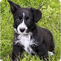 Adopt A Pet :: Bodie - Staunton, VA