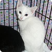 Adopt A Pet :: Snowy - Colmar, PA