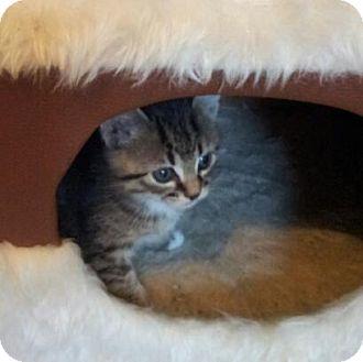 Domestic Shorthair Kitten for adoption in Marietta, Georgia - Joy
