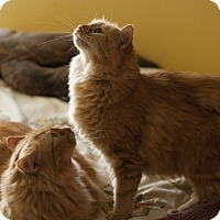 Adopt A Pet :: Citron and Tangerine - Hoffman Estates, IL