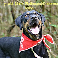 Doberman Pinscher/Plott Hound Mix Dog for adoption in Siler City, North Carolina - Atlas