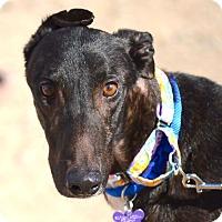 Adopt A Pet :: Bill - Tucson, AZ