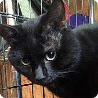 Siamese Cat for adoption in Vass, North Carolina - Twin