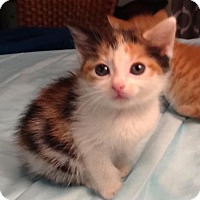 Adopt A Pet :: Callie - San Antonio, TX