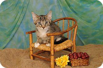 Domestic Shorthair Kitten for adoption in mishawaka, Indiana - Reggie