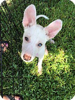 Siberian Husky Mix Puppy for adoption in Sugar Land, Texas - Addison