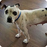 Adopt A Pet :: Moo - Troy, MI