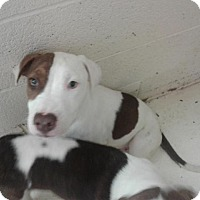 Pit Bull Terrier Mix Puppy for adoption in Fayetteville, West Virginia - Carrot