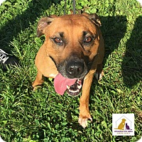 Pit Bull Terrier/Hound (Unknown Type) Mix Dog for adoption in Eighty Four, Pennsylvania - Margo