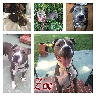 American Bulldog Mix Dog for adoption in Eden, North Carolina - Zoe