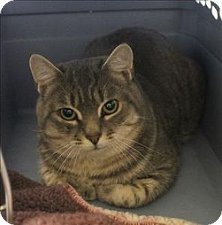Domestic Mediumhair Cat for adoption in Concord, New Hampshire - Collins- Barn Cat