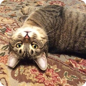 Domestic Shorthair Cat for adoption in Toronto, Ontario - Mickey