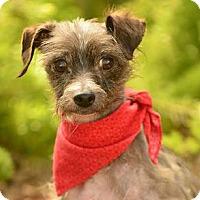 Adopt A Pet :: Sidney - Rancho Palos Verdes, CA