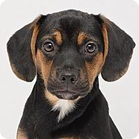 Adopt A Pet :: Paris - Westfield, NY