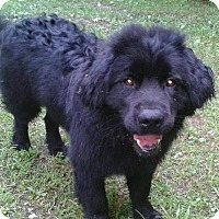 Labrador Retriever/Chow Chow Mix Dog for adoption in Cary, North Carolina - Manolo