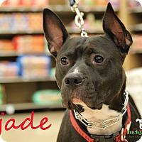 Adopt A Pet :: Jade - Alpharetta, GA