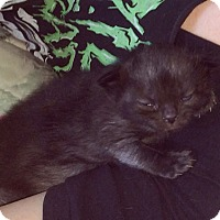 Domestic Shorthair Kitten for adoption in Monrovia, California - Stacey Cake