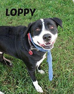 Bernese Mountain Dog Mix Dog for adoption in Houston, Texas - Loppy