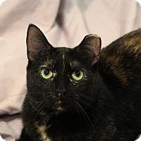 Domestic Shorthair Cat for adoption in St. Louis, Missouri - Lottie