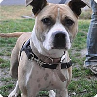 Adopt A Pet :: Sasha - Hyde Park, NY