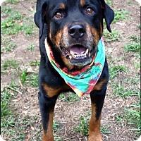 Adopt A Pet :: Kota- Courtesy Post - Rexford, NY