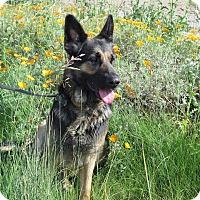 Adopt A Pet :: Sheba - Tracy, CA