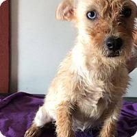 Adopt A Pet :: Poppy - Aurora, CO
