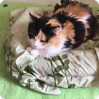 Domestic Shorthair Cat for adoption in Bourbonnais, Illinois - kelly