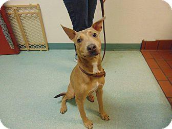 Labrador Retriever/Basenji Mix Dog for adoption in St. Cloud, Florida - Blue