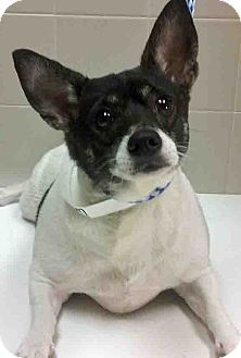 Rat Terrier Mix Dog for adoption in Channahon, Illinois - Lucky