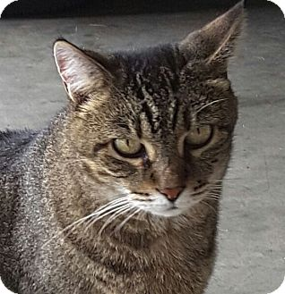 Domestic Shorthair Cat for adoption in Huntsville, Alabama - Clawdia ***Declawed***