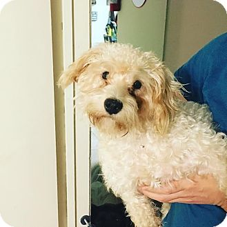 Poodle (Miniature)/Shih Tzu Mix Dog for adoption in Rocky Hill, Connecticut - Lacy