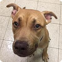 Terrier (Unknown Type, Medium)/American Pit Bull Terrier Mix Dog for adoption in Fulton, Missouri - Phoenix- Ohio