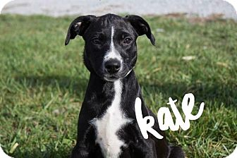 Pit Bull Terrier Mix Puppy for adoption in Murphysboro, Illinois - Kate