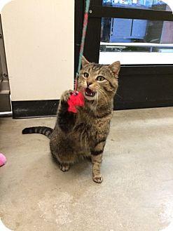 Domestic Shorthair Cat for adoption in Byron Center, Michigan - Atlas