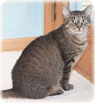 Domestic Shorthair Cat for adoption in Howell, Michigan - Kellie