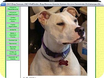 Pit Bull Terrier Dog for adoption in New Hartford, New York - Toby - Sweet Boy!