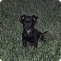 Adopt A Pet :: Bonnie - La Habra Heights, CA