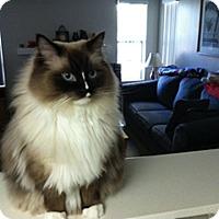 Adopt A Pet :: Alvin - Laguna Woods, CA