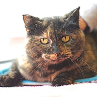 Adopt A Pet :: Tootsie - East Hartford, CT