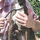 Adopt A Pet :: Amber SCAS