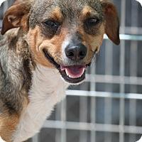 Adopt A Pet :: Amp - Wynne, AR