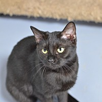 Domestic Shorthair Cat for adoption in Atlanta, Georgia - Fiddle 14305
