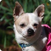 Adopt A Pet :: Gizmo - Bellevue, WA