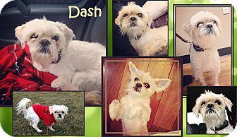 Shih Tzu Mix Dog for adoption in Cambridge, Ontario - Dash