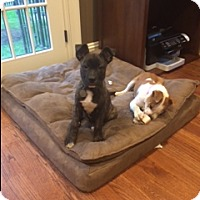 Adopt A Pet :: PorkChop (courtesy listing) - Bartonsville, PA